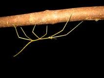 marche de bâton d'insecte Image libre de droits