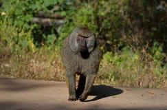 Marche de babouin de la savane Photographie stock libre de droits