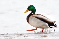 marche de canard Photos libres de droits