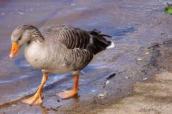 marche de canard Photographie stock