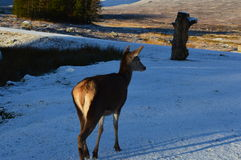 Marche de cerfs communs Photographie stock libre de droits