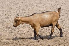 Marche de chèvre de Brown Images libres de droits