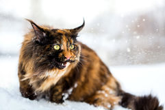 Marche de chat de Maine Coon Photo libre de droits