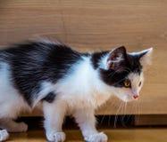 Marche de chaton Image libre de droits