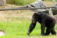 Marche de chimpanzé Photographie stock
