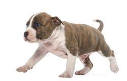 Marche de chiot de chien terrier de Staffordshire américain Photo stock