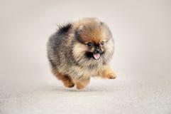 Marche de chiot de Spitz de Pomeranian Photographie stock libre de droits