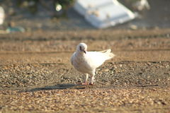 Marche de colombe photo stock