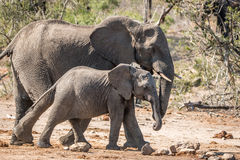 Marche de deux éléphants Images libres de droits