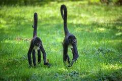 Marche de deux de Geoffroy du ` s singes d'araignée photographie stock libre de droits