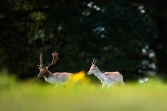 Marche de deux mâles de cerfs communs affrichés Photo stock