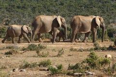 Marche de famille d'éléphants Photo stock