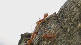 Marche de fourmis banque de vidéos