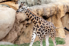 Marche de giraffe Photo stock