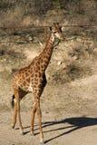 Marche de giraffe Photo libre de droits
