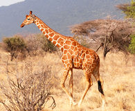 marche de giraffe Photos stock