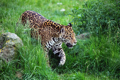 Marche de jaguar Photos stock