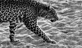 Marche de léopard Photographie stock libre de droits