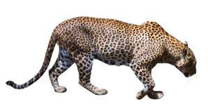 Marche de léopard images stock