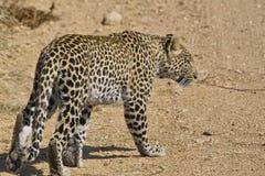 Marche de léopard (pardus de Panthera) Photographie stock