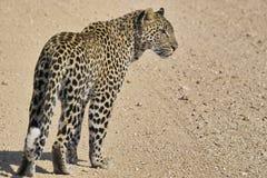 Marche de léopard (pardus de Panthera) Photos libres de droits