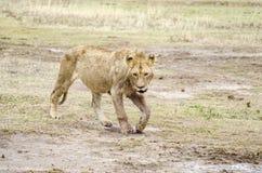 Marche de lion Photo libre de droits