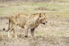 Marche de lion Photographie stock