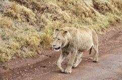 Marche de lion de Jung images stock