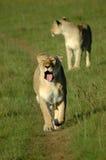 Marche de lions Photographie stock