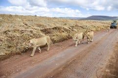 Marche de lions Image libre de droits