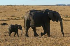 Marche de mère et de veau d'éléphant Photos libres de droits