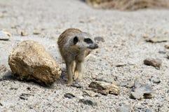 Marche de Meerkat Photos libres de droits