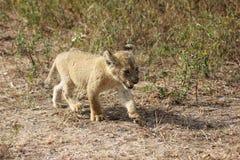 Marche de petit animal de lion Images libres de droits