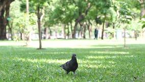 Marche de pigeon banque de vidéos