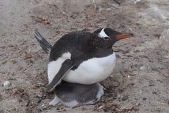 marche de pingouin de gentoo de plage Photo libre de droits