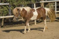 Marche de poney de Shetland images stock