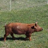 Marche de porc de Brown Photographie stock