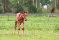 Marche de poulain de cheval Photo libre de droits
