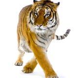 Marche de tigre Images libres de droits