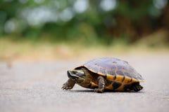 Marche de tortue image stock