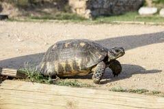 Marche de tortue Photo libre de droits