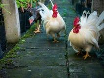 Marche de trois poulets images stock