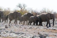 Marche de troupeau d'éléphant Photographie stock libre de droits
