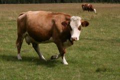 Marche de vache Image libre de droits