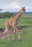 Marche de veau de girafe de masai Photo libre de droits