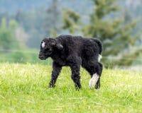 Marche de yaks de bébé Photo libre de droits