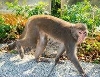 Marche formosane taiwanaise sauvage de singe de macaque de roche photographie stock