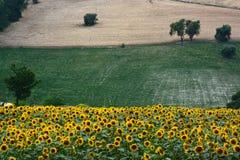 Sunflower landscape Stock Image