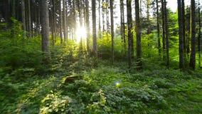 Marche par la forêt de pin vers le soleil banque de vidéos