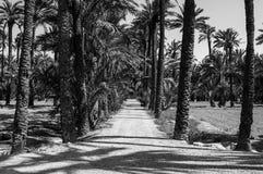 Marche par le Palmeral d'Elche en Espagne - une palmeraie située dans la ville Rebecca 36 images stock